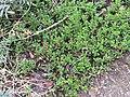 Rhodendron lapponicum (Lapland Rosebay) (3901812721).jpg