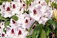 Rhododendron Calsap 0zz.jpg