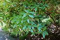 Rhododendron davidsonianum 'Lucky Hit' - UBC Botanical Garden - Vancouver, Canada - DSC08419.jpg
