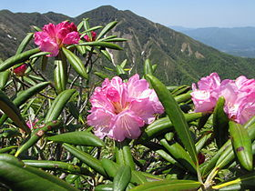 Rhododendron degronianum 1.JPG