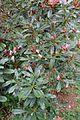 Rhododendron degronianum subsp. heptamerum var. hondoense - Hillier Gardens - Romsey, Hampshire, England - DSC04863.jpg