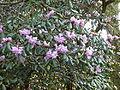 Rhododendron desquamatum (5551546062).jpg