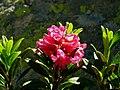 Rhododendron ferrugineum 2007.jpg