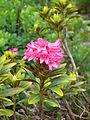 Rhododendron ferrugineum BOGA.jpg