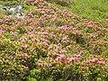 Rhododendron ferrugineum Pyrenees 5.jpg