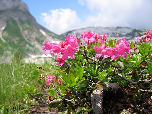 Rhododendron hirsutum2006