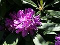 Rhododendron ponticum 5.jpg