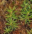 Rhododendron tomentosum, sin. Ledum palustre, 2006-08-01.JPG