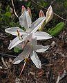 Rhododendronatlanticum.jpg