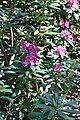 Rhododendronpark Bremen 20090513 201.JPG