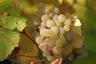 Riesling white grape in Rhine, Germany
