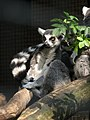 Ringtail lemur hanging out (540180387).jpg