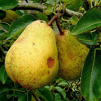 Arneis - One of the classic flavor notes associated with Arneis is that of ripe pears.