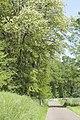 Robinia pseudoacacia (Robinier faux-acacia).jpg