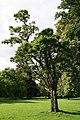 Robinia pseudoacacia Umbraculifera JPG1.jpg