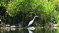 Rogue River Wildlife (15755592449).jpg