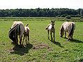 Roly - Equus caballus JPG.jpg