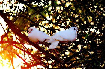 Romantic pigeon's.jpg