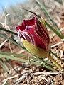 Romulea monadelpha Hantham 01.jpg