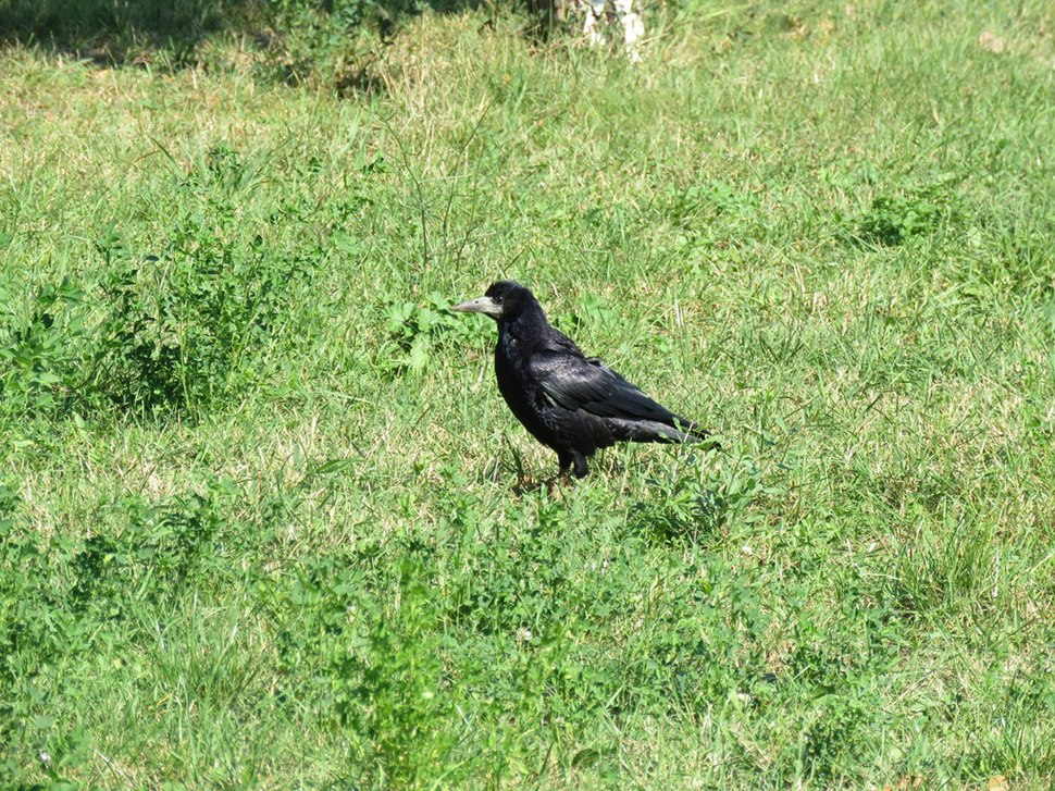 Rook in the grass 15