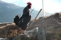 Rooster in Nepal - 7902 (22534003197).jpg