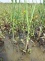 Rorippa palustris sl22.jpg