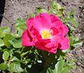 Rosa 'John Cabot', Devonian Botanic Garden.jpg