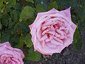 Rosa 'Risaralda' Jordi Dot 1970 RPO3.jpg