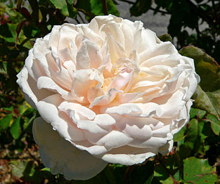 Rosa Madame Alfred Carriere 1.jpg