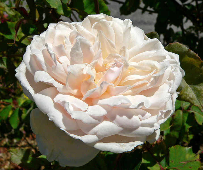 Noisette Rose - Madame Alfred Carriere