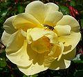 Rosa Poulsens Yellow 1.jpg