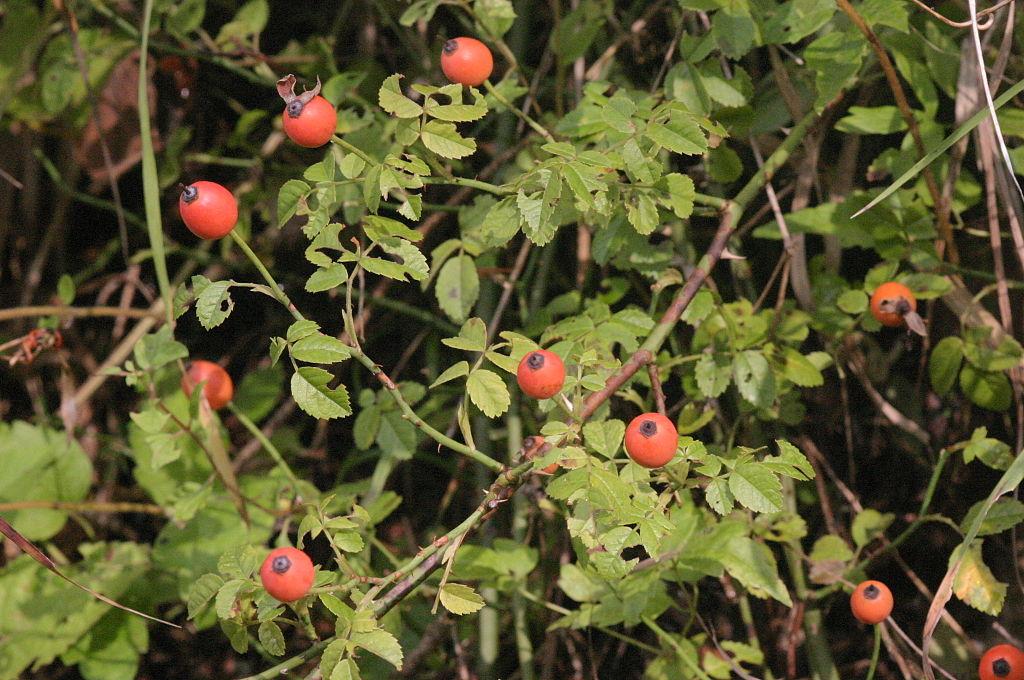 Ruža roľná - s plodmi