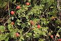Rosa arvensis (Liege-Rose) IMG 30056.JPG