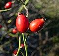 Rosa canina fruit (35).jpg