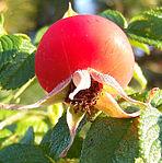 Rosa rugosa Frucht 1.jpg