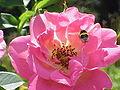 Rosa sp.134.jpg