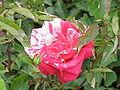 Rosa sp.217.jpg