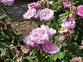Rosa sp.87.jpg