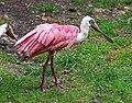 Rosalöffler im Weltvogelpark Walsrode 2H1A7976WI.jpg