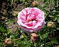 Rosarium Baden Rosa 'Crescendo' Noack 2003 02.jpg