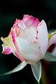 Rose, Miwaku - Flickr - nekonomania (1).jpg