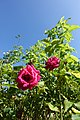 Rose @ Parc de Belleville @ Paris (28208922830).jpg