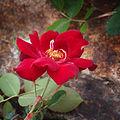 Rose Messire バラ メシール (7501590214).jpg