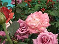 Rose from Lalbagh flower show Aug 2013 8542.JPG