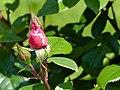 Rosengarten der Stadt Köln Rosa 'Händel' 3.jpg