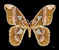 Rothschildia aurota speculifera MHNT female dos.jpg