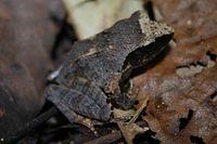Rough-backed Forest Frog (Platymantis corrugatus)4.jpg