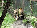 Royal Bengal Tigers.jpg