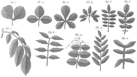 Cours d agriculture rozier feuille wikisource for Plante 7 folioles