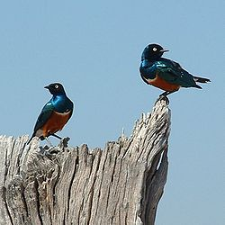 Ruaha superb starlings.jpg